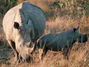 white-rhino_755_600x450