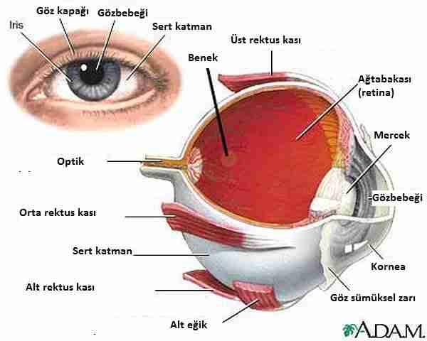 kök_hücre-körlük-kök_hücreler-göz-katarakt