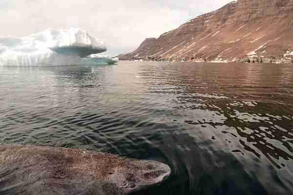 köpekbalığı-grönland_köpekbalığı-400_yaşında-grönland-ölümsüzlük