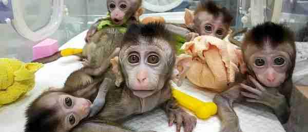 Çinliler-maymuna-insan-beyni-geni-yerleştirdi