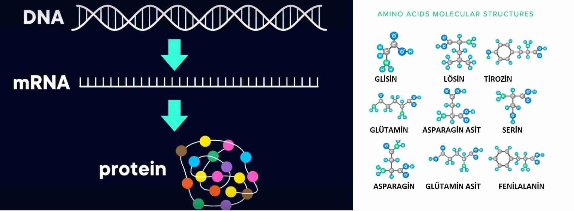 Protein-katlama-nedir-ve-nasıl-çalışır